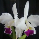 elhor Cattleya warneri            semi-alba
