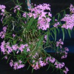 1º Lugar Categoria V  Epidendrum Centradenium  Kuo Ying Chang