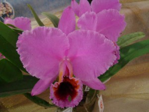 Cattleya percivaliana tipo